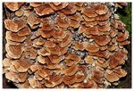 Title: A Family of Bracket fungi