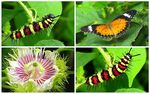 Title: Malay Lacewing and its  circle