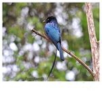 Title: Lesser Racket-tailed Drongo
