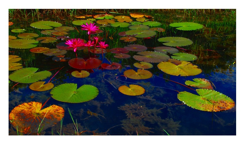 Pink Lily &  Leaves