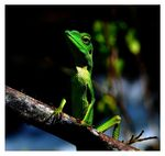 Title: Glance 2 : Green Crested Lizard