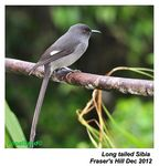 Title: Long-tailed Sibia