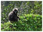 Title: Spectacled Langur