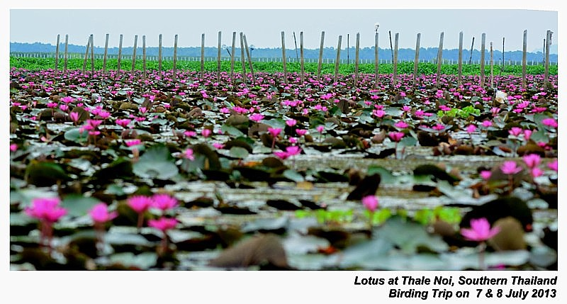 Lotus at Lake Thale Noi