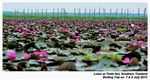 Title: Lotus at Lake Thale Noi