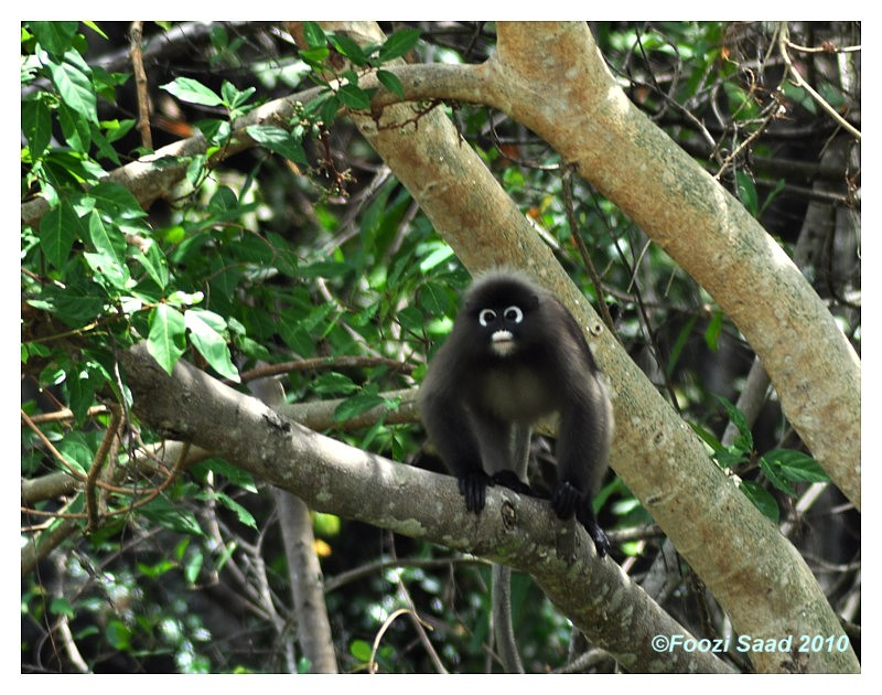 First on TN - Spectacled Langur