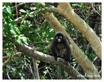 Title: First on TN - Spectacled Langur