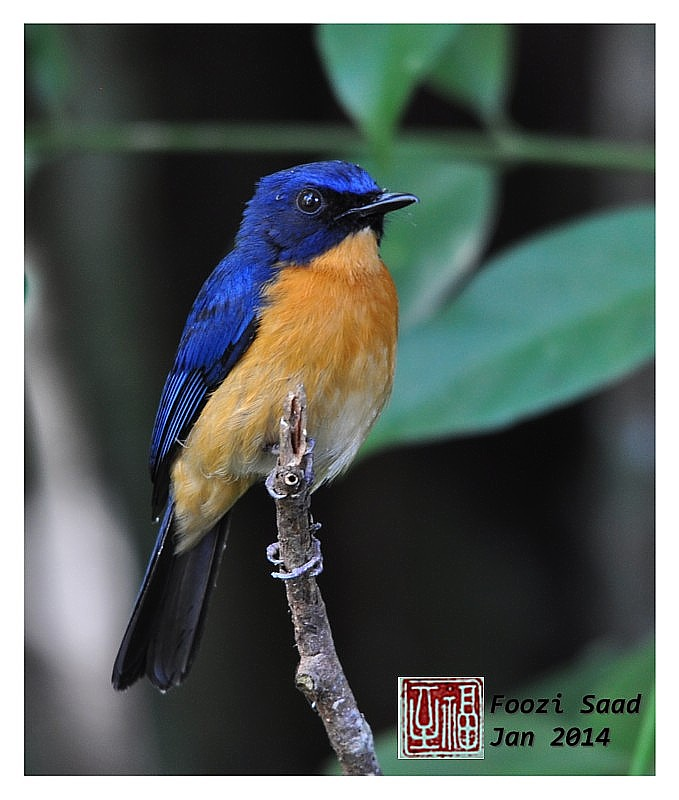Mangrove Blue Flycatcher