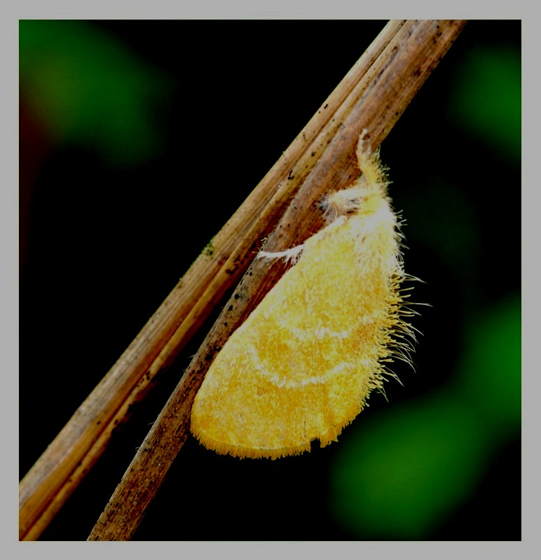 Shy  Yellow Moth