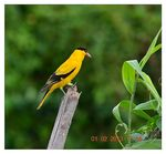 Title: The Black-naped Oriole