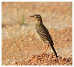Title: Paddyfield Pipit