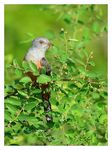 Title: Plaintive Cuckoo