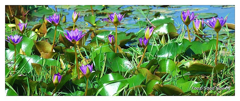 Purple Water Lilies for Miss Piggy