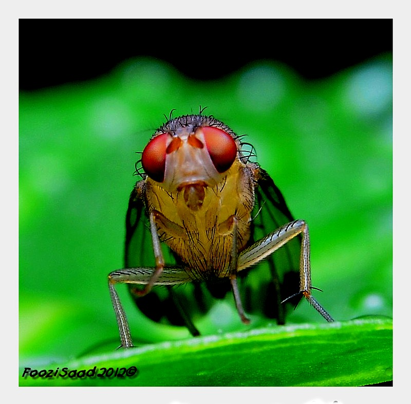 Young Fruit fly