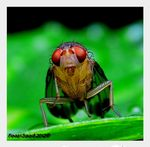 Title: Young Fruit fly
