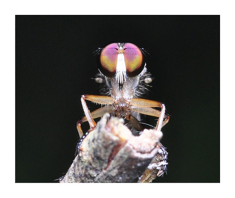 The Eye of a Robberfly