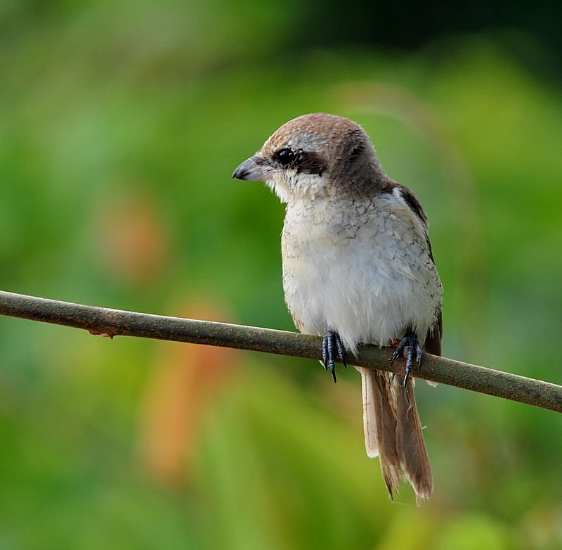 Jouvenile Brown Shrike