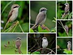 Title: Dances of the Brown Shrike