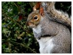 Title: Common Squirrel