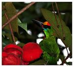 Title: Red-throated Barbet  - TQ Ivan