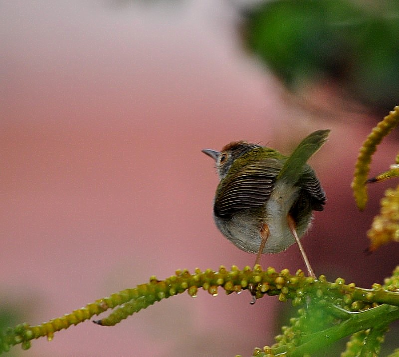Well Combed -   Common Tailorbird
