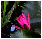 Title: Water Lily- Semi Opened