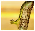 Title: Golden Tree Snake for Bayram