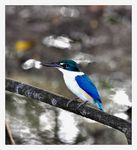 Title: White Collared Kingfisher