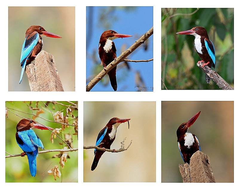Poses of White Throated Kingfisher