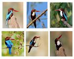 Title: Poses of White Throated Kingfisher