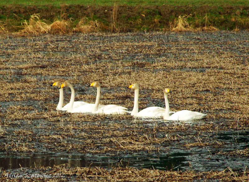 A pack of whooper swans