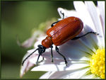 Title: Lily beetle on daisy