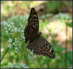 Title: Silver-washed Fritillary - femaleFuji Finepix S20 Pro