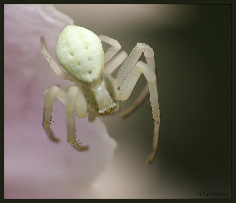 Treknature white flower spider photo white flower spider mightylinksfo