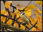 Title: Blue Tit in late autumn colors