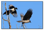 Title: Magpie & Hooded Crow