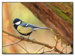 Title: Great Tit (singing moment)