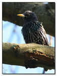 Title: Starling close-up