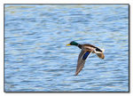 Title: Mallard over Pike lake