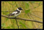 Title: Collared Flycatcher (rare)