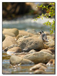 Title: White Wagtail sitting on river stones