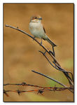 Title: Shrike on barbed wire fence