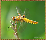 Title: Broad-bodied Chaser (female)Canon EOS 400D