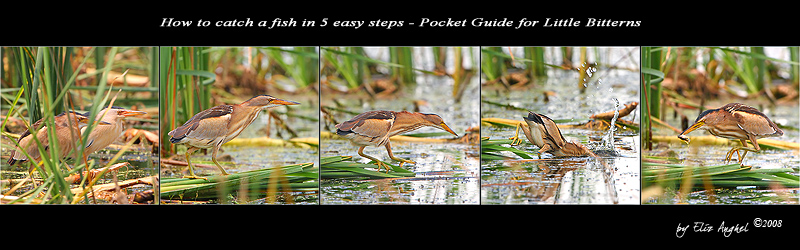 Little Bittern Pocket Guide