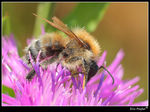 Title: Hairy-footed Flower Bee (male)
