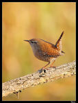 Title: Winter Wren and Goldcrest