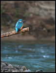 Title: Kingfisher on Crisul-Alb river