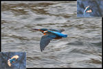 Title: Kingfisher in flight (with dedication)