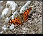 Title: Eastern Comma