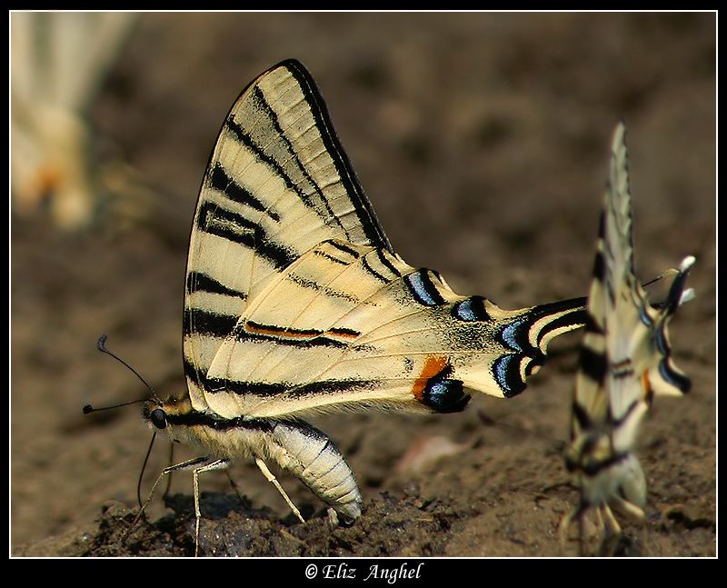 Iphiclides podalirius-different approach